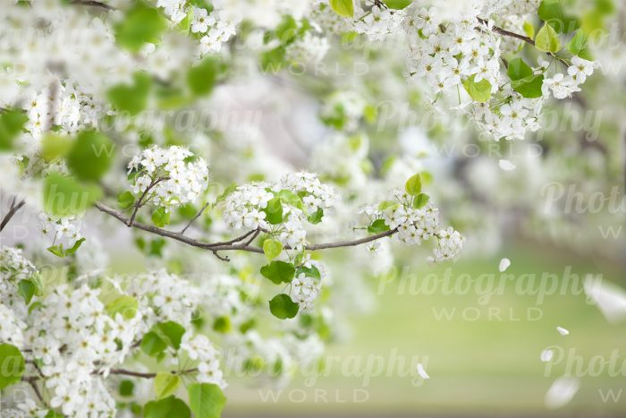 Spring Tree Blossom Backdrop
